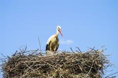 Гнездо ` s аиста, естественное гнездо ` s аиста, щенята и ` s аиста гнездятся, изображения аиста на крыше, Стоковая Фотография RF