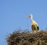Гнездо ` s аиста, естественное гнездо ` s аиста, щенята и ` s аиста гнездятся, изображения аиста на крыше, Стоковые Изображения