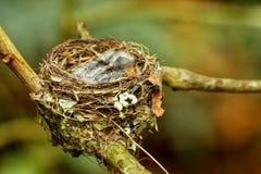 Гнездо vanikorensis Vanikoro Broadbill Myiagra с цыпленоками дальше Стоковые Изображения RF
