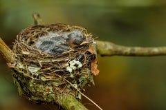 Гнездо vanikorensis Vanikoro Broadbill Myiagra с цыпленоками дальше Стоковые Фотографии RF