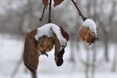 Гнилой плодоовощ айвы с снегом Стоковая Фотография