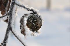 Гнилой плодоовощ айвы с снегом Стоковая Фотография RF