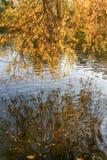 Гнуть над вербой воды разветвляет с желтыми листьями и их отражением в воде Стоковое Изображение RF
