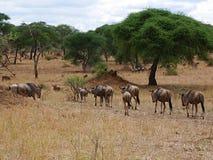 Гну антилопы в сафари Tarangiri-Ngorongoro Африки Стоковая Фотография RF