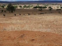 Гну антилопы в сафари Tarangiri-Ngorongoro Африки Стоковая Фотография