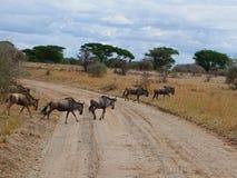 Гну антилопы в сафари Tarangiri-Ngorongoro Африки Стоковое Фото