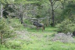 Гну антилопы антилопы гну одичалый Стоковая Фотография RF