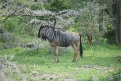Гну антилопы антилопы гну одичалый Стоковые Изображения RF