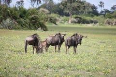 Гну антилопы антилопы гну одичалый Стоковые Изображения