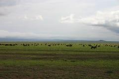 Гну антилопы антилопы гну одичалый Стоковое Фото