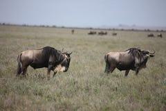 Гну антилопы антилопы гну одичалый Стоковое фото RF