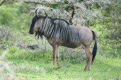 Гну антилопы антилопы гну одичалый Стоковые Фотографии RF