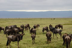 Гну в кратере Ngorongoro, Танзании Стоковая Фотография