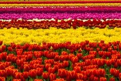 Гобелен тюльпана Стоковое Фото