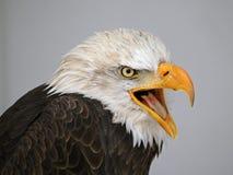Говорить белоголового орлана Стоковая Фотография RF