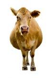 говорить коровы стоковые фото