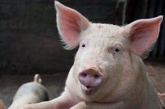 говорить свиньи Стоковые Изображения