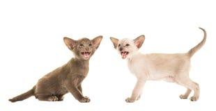 2 говоря сиамских котят Стоковое Изображение