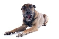 Говоря собака Стоковые Фото