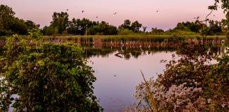 Гоготанье больших Egrets Стоковая Фотография RF