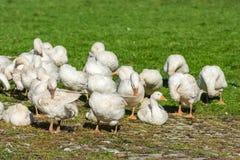Гоготанье гусынь пася на зеленой траве Стоковые Фотографии RF
