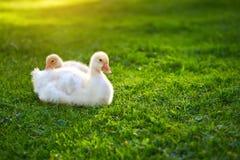 Гоготанье гусят, лежа на траве Гусыни, который выросли для продажи Стоковое Изображение
