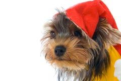год yorkshire terrier шлема новый s Стоковая Фотография