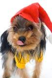 год yorkshire terrier шлема новый s Стоковое Фото