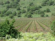 Голанские высот виноградника Стоковое Изображение