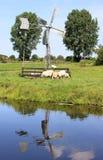 голландец пася маленькое близкое watermill овец стоковые изображения rf