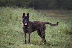 Голландская собака чабана в зеленом луге стоковая фотография