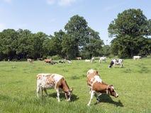 Голландские коровы Гольштейна в зеленом травянистом луге лета около леса в Голландии Стоковое Изображение RF