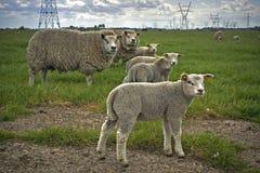 голландские овцы стоковые изображения rf