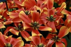 Голландские тюльпаны - апельсин & желтый цвет Стоковое фото RF