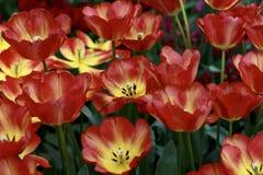 Голландские тюльпаны - апельсин & желтый цвет Стоковые Фото