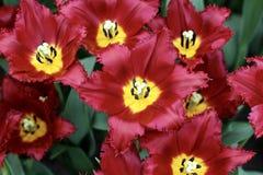 Голландские тюльпаны - красный цвет & желтый цвет Стоковые Фотографии RF