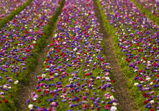 голландские цветки Стоковые Фото