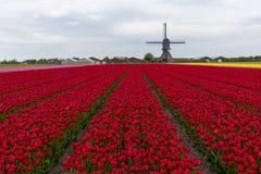Голландский ландшафт ветрянки тюльпана стоковые фотографии rf