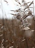 голландский тростник Стоковые Фотографии RF