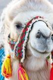 Голова белого Bactrian верблюда с красочной проводкой Стоковая Фотография