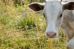 Голова белой коровы Стоковая Фотография RF
