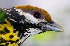 Голова бело-ушастого catbird в взгляде профиля Стоковые Изображения RF