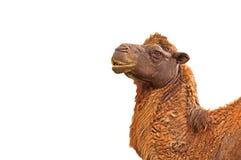 Голова верблюда крупного плана на белой предпосылке, пути клиппирования Стоковые Изображения