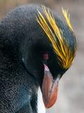 Голова взрослого пингвина макарон, залива бондаря, Южной Георгии стоковое фото