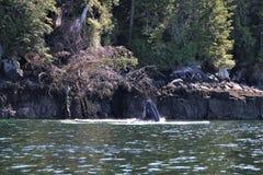 Голова горбатого кита из воды Стоковые Фотографии RF