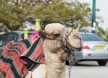 Голова декоративно украшенного верблюда с посетителями одеяла отдыхая лежа ждать стоковая фотография rf