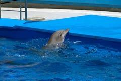 Голова дельфина в цирке моря Стоковая Фотография RF