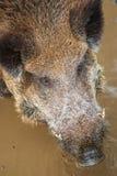 Голова дикого кабана Стоковые Фото