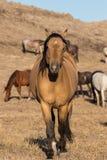 Голова жеребца дикой лошади дальше Стоковое Фото