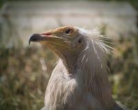 Голова заботливой хищной птицы предусматриванной в белых пер Стоковые Изображения RF